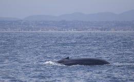 Baleine bleue outre de la Californie images stock