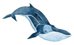 Baleine d'aileron Photos libres de droits