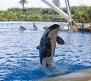 Baleine d'orque Photographie stock