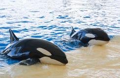Baleine d'orque Photographie stock libre de droits