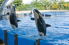 Baleine d'orque Images stock