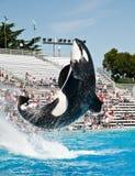 Baleine d'orque du monde de mer Image stock