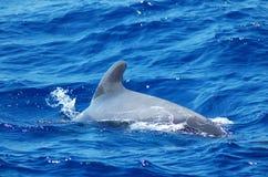 Baleine dans l'océan sur l'île de Ténérife, Espagne Image libre de droits