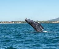 Baleine de bébé gambadant Image libre de droits