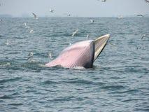 Baleine de Bangtaboon Photos libres de droits