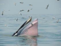 Baleine de Bangtaboon Images stock