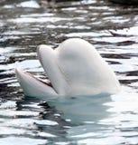 Baleine de beluga Photographie stock