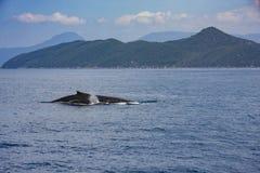 Baleine de bosse, île de Fitzroy Images stock