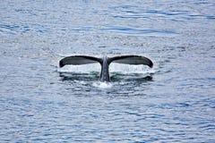 Baleine de bosse Photos stock