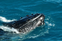 Baleine de bosse Images libres de droits