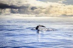 Baleine de bosse Photographie stock libre de droits
