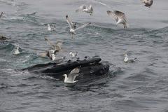 Baleine de bosse alimentant sur la surface de l'océan entourée par des mouettes Photographie stock