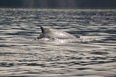 Baleine de bosse - détail Photo libre de droits