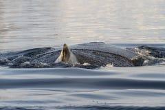 Baleine de bosse de diagramme de rotation et de point qui plonge dans les eaux o Photos stock