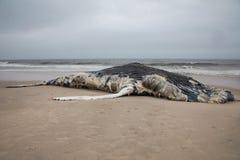 Baleine de bosse femelle morte comprenant la queue et ailerons dorsaux sur l'île du feu, Long Island, plage, avec le sable dans l Images libres de droits