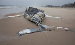 Baleine de bosse femelle morte comprenant la queue et ailerons dorsaux sur l'île du feu, Long Island, plage, avec le sable dans l Photos stock