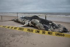 Baleine de bosse femelle morte comprenant la queue et ailerons dorsaux sur l'île du feu, Long Island, plage, avec le sable dans l Photo libre de droits