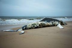 Baleine de bosse femelle morte sur l'île du feu, Long Island, plage, avec le sable dans le premier plan et l'Océan Atlantique à l Photos libres de droits