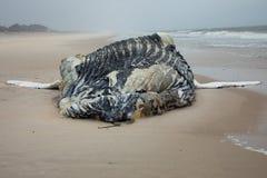 Baleine de bosse femelle morte sur l'île du feu, Long Island, plage, avec le sable dans le premier plan et l'Océan Atlantique à l Photographie stock