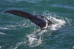 Baleine de bosse, Islande, l'Océan Atlantique Photographie stock libre de droits