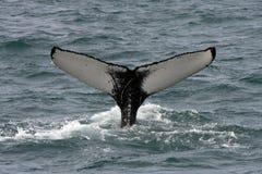 Baleine de bosse, Islande, l'Océan Atlantique Image libre de droits