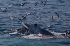 Baleine de bosse/novas de Megaptera photo stock