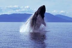 Baleine de bosse ouvrant une brèche (novaeangliae de Megaptera), Alaska, sud photographie stock libre de droits