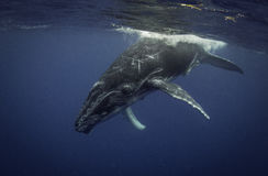 Baleine de bosse sur la surface image stock