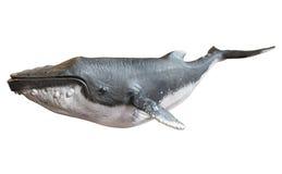Baleine de bosse sur un fond blanc d'isolement image libre de droits