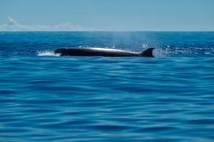 Baleine de bottlenose du nord images stock