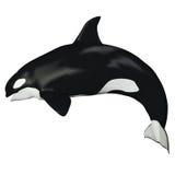 Baleine de femelle d'orque illustration de vecteur