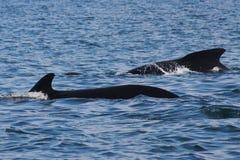 Baleine de morcellement en tournée images libres de droits