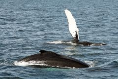 Baleine de ondulation Photographie stock