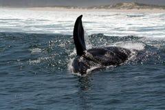 Baleine de S R jouant dans la vague déferlante photographie stock libre de droits