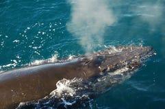 Baleine de sommeil Image libre de droits