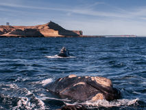Baleine droite d'un moment Photo stock