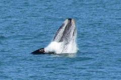Baleine droite du sud masculine, Hermanus, Afrique du Sud photo stock