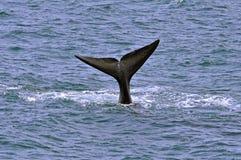 Baleine droite méridionale Photo libre de droits