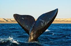 Baleine droite méridionale dans le Patagonia. images libres de droits