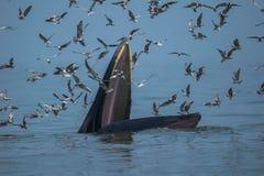 Baleine du ` s de Bryde alimentant dans le golfe de Thaïlande Images stock