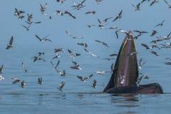 Baleine du ` s de Bryde alimentant dans le golfe de Thaïlande Photographie stock libre de droits