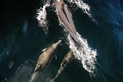 Baleine et dauphin observant dans le patagonia, Argentine photo stock