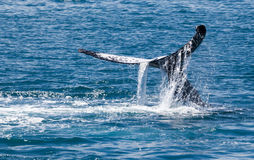 Baleine Hervey Bay Australia photos libres de droits