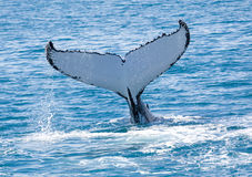 Baleine Hervey Bay Australia photo stock