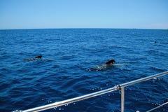 Baleine observant à la côte de Ténérife, Îles Canaries Espagne photo libre de droits