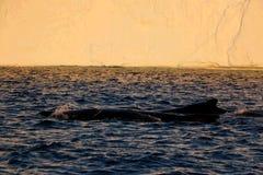 Baleine observant à un minuit d'Ilulissat Photo libre de droits