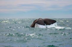 Baleine observant chez Kaikoura Nouvelle-Zélande Photographie stock