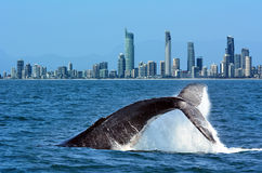 Baleine observant dans l'Australie de la Gold Coast Photographie stock libre de droits