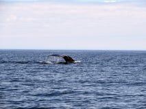 Baleine observant dans l'océan ouvert regardant une submersion de baleine de bosse image libre de droits