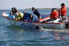 Baleine observant la lagune Californie de San Ignacio Image libre de droits